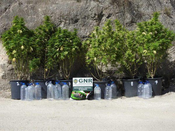Apreensão de plantação de cannabis no Marco de Canaveses