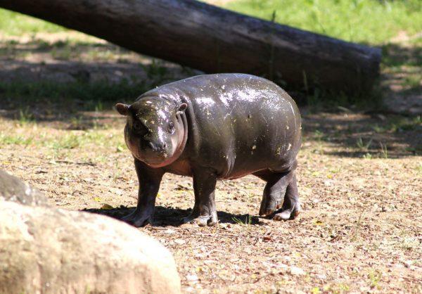 Hipopótamo em risco de extinção nasce no Zoo Santo Inácio